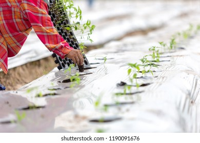 Agriculturist planting with mulching to weed of agriculture organic farming, Farmers grow crops by mulching.