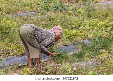 agriculturist pull grass from vegetable garden