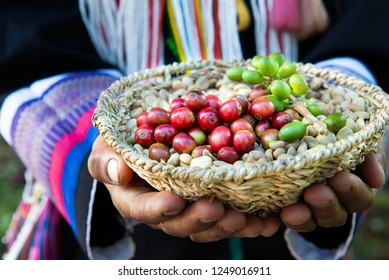 Agriculturist woman hand in hill tribe dress hold basket have branch green coffee and red berries coffee beans on dried raw coffee grains,Worker harvest arabica coffee berries in the north of Thailand