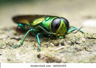 Agrilus planipennis - Emerald ash borer
