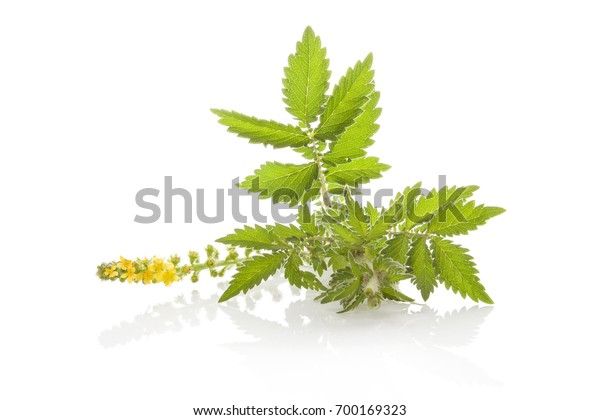 Agrimonia eupatoria, common agrimony, church steeples or sticklewort isolated on white background. Natural remedy, medicinal plant.