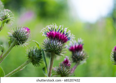 Agrimony flower macro