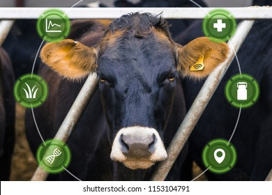 Agritech concept showing dairy cow with wireless data ear tag on a smart farm with graphics overlaid.