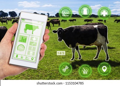 Agritech concept showing a herd of dairy cows in a field with farmer accessing selected cows data and statistics wirelessly on a smartphone app.