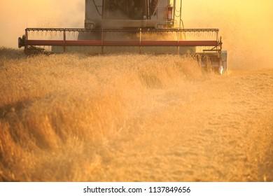 Agro farmer rye harvest with harvester
