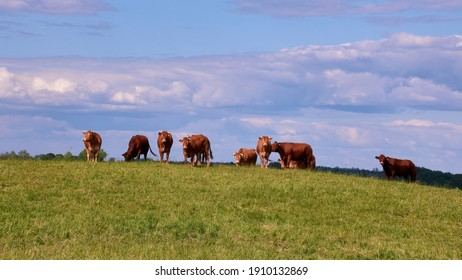 Agro-cultural rural landscape. Cattle herd grazing in farm pasture in the summer. Aukstaitija region, Lithuania.