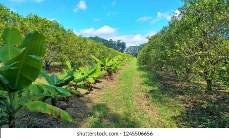 agroforestry of fruits and vegetables
