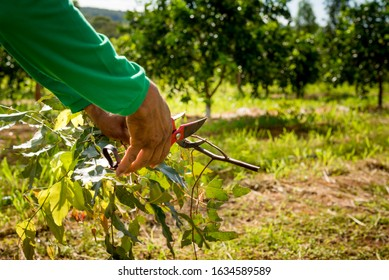 agroforestry system, hands of man pruning eucalyptus