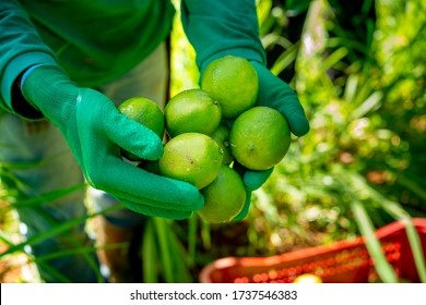 agroforestry system, man hands picking limes on a plantation
