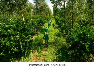 agroforestry system, men picking limes on a plantation, end of the workday, men leaving