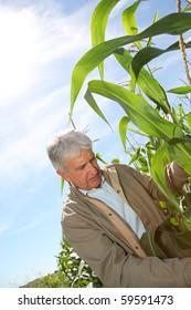 Agronomist analyzing corn field