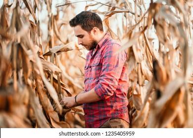 Agronomist checking corn if ready for harvest. Portrait of farmer