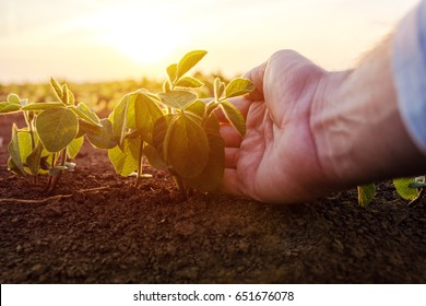 Agronomist checking small soybean plants in cultivated agricultural field, close up of male hand examining young crops