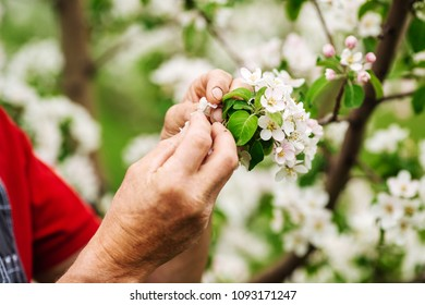 Agronomist examining blooming apple trees in orchard.  Gardening and people concept.