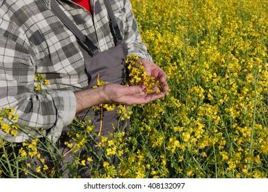 Agronomist or farmer examine blooming canola plant field, oil seed rape