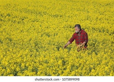 Agronomist or farmer examining blossoming canola field, rapeseed plant, early spring