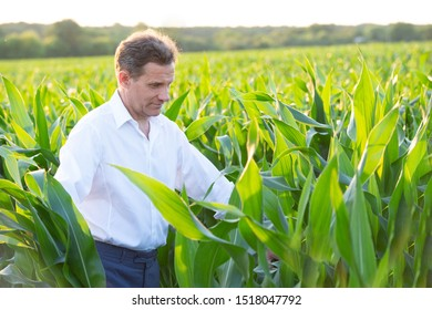 agronomist or farmer examining crop of corn in field