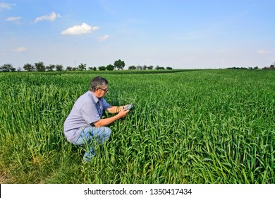 The agronomist or farmer in the wheat field controls the yield quality.