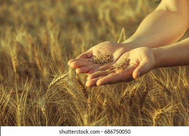 Agronomist stands on a large field at sunset, holding hands to ears of wheat grain. The harvest of cereals in the summer.