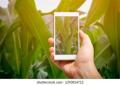 Agronomist is taking a photo of the green corn field and examining crops. Agricultural business concept