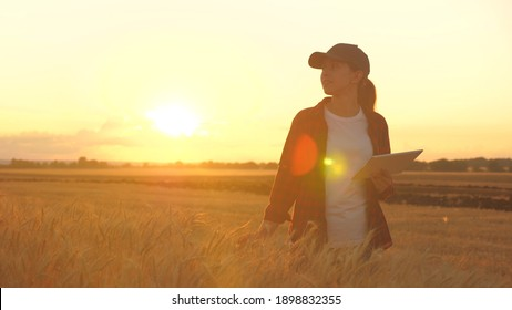 Agronomist woman farmer, business woman looks into a tablet in a wheat field. Modern technologists and gadgets in agriculture. Business woman working in the field. Farmer in wheat field at sunset.