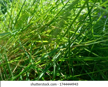 Agrostis stolonifera (creeping bent grass, creeping bent, fiorin, spreading bent, carpet bentgrass, rumput peking) with a natural background. It is a perennial grass species  in the family Poaceae.