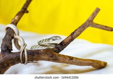 Ahaetulla prasina. Die Jade Vine Schlange auf einem Zweig. Exotische Tiere in der menschlichen Umwelt. Schlange auf gelbem Hintergrund. Leaf-förmiger Kopf mit langer Spitze. Oberschwanzschwanz