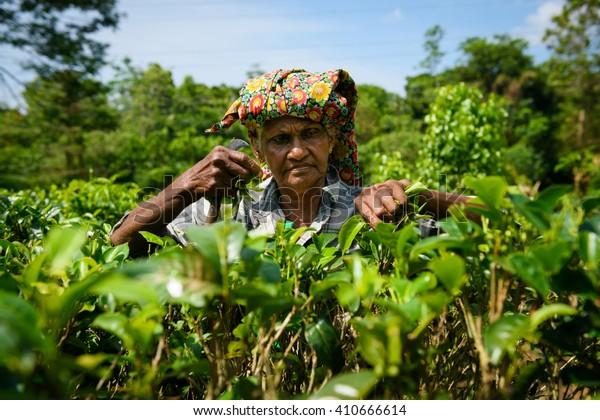 AHANGAMA, SRI LANKA - MARCH 13, 2016: Women worker picking fresh tea leaves on tea plantation.
