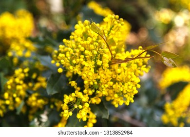 ahonia aquifolium. Oregon grape, Mahonia aquifolium flowers in the spring garden. Useful plants. Homeopathy. Yellow plant background. Yellow flowers mahonia close up