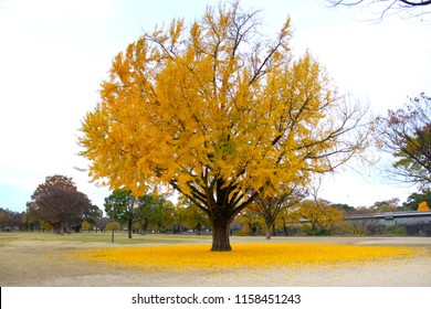 A-hunderd-year old ginkgo tree in Kyushu, Japan.