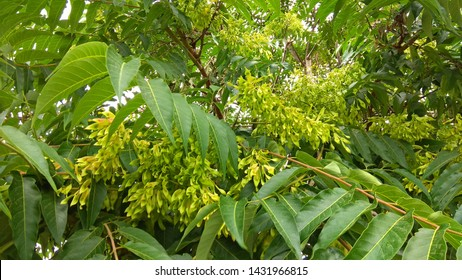 Ailanthus altissima branches having schizocarps in pendulous clusters & leaves.  Large, pistachio green, slightly blushed, twisted at the tips samaras dangle in drooping clusters on the reddish twigs.