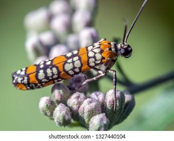 ailanthus webworm, Atteva aurea, is an ermine moth