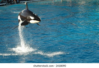 Air born Killer Whale in San Diego