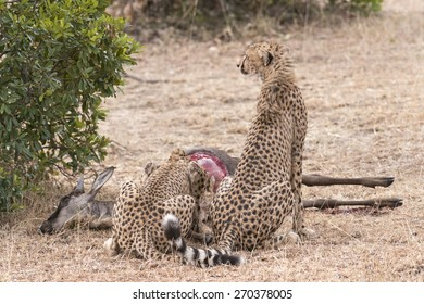 {air of cheetahs feasting on antelope kill, Masai Mara National Reserve, Kenya, East Africa