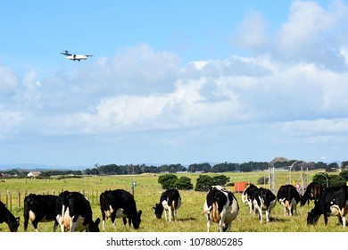Air New Zealand, ATR72-600, Landing, Auckland International Airport, 8 April 2018, Flying over a paddock of dairy cows