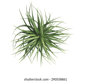 air plant with scientific name Tillandsia, on a isolated white background. This has clipping path.