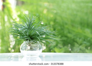 air plant with scientific name Tillandsia in glass pots with soft green background.