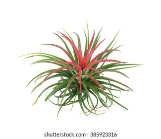 air plant with scientific name Tillandsia, isolated on white background. This has clipping path.