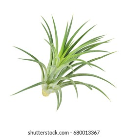 air plant with scientific name Tillandsia,  isolated white background. This has clipping path.