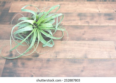 Air plant Tillandsia, on a isolated wood background