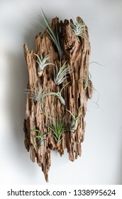 Air plants epiphytic tillandsias mounted on driftwood on a white wall for home decor modern nature design