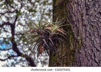 Air Plants growing on a tree in park, Quito Ecuador