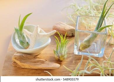 air plants  Tillandsia
