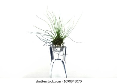 Air plants or Tillandsia airplants on a glass stand with natural white background.