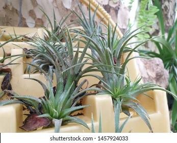 Air plants (Tillandsia) on natural background