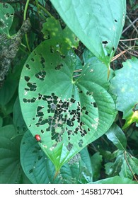 Air potato leaf beetle in Florida on air potato vine showing signs of damage.