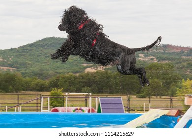 an airborne male portuguese water dog diving into an above ground pool from a platform.