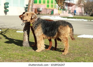 Airedale dog on the grass