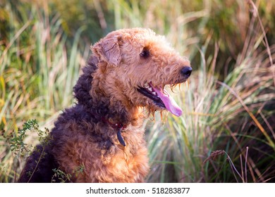Airedale on the field