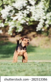Airedale runs and jumps in the Park